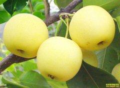 四川泸州向省辉种植黄金梨致富不走寻常路