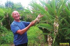 四川泸州八旬老人刘文生种植砂仁10亩地多收3万元