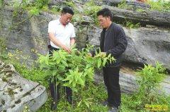 四川筠连县王家元林下种植黄精年入10万元
