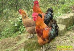 养殖什么品种的土鸡长得快好赚钱?