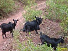 农村养什么羊赚钱?湘宴黑羊养殖效益高