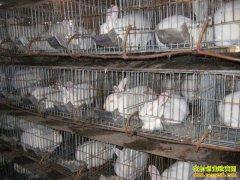 养兔子赚钱吗?河南淮滨黄清日养殖獭兔走上致富路