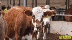 《致富经》 20201230 女白领殷海丽当牛倌 养母牛巧生财
