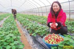 四川泸州徐金英大棚种草莓一亩净赚5万元