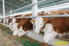 今年养肉牛怎么样?2021年养肉牛预计利润只增不会减