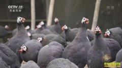 致富经:重庆李方龙养殖珍珠鸡啄开千万财富门
