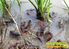 四川泸县苟礼彬稻虾共作 每亩收入1.5万元