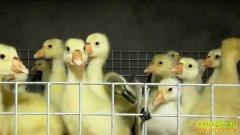 致富经:鹅苗卖价高 张成海产业链里把心操