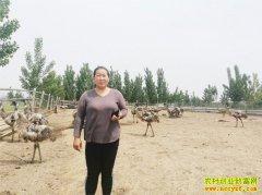 山东新泰倪家宏养鸵鸟最高存栏超1500只