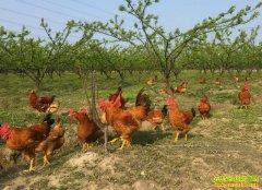 四川泸州许仕贵:果园养鸡鸭 轻松赚小钱