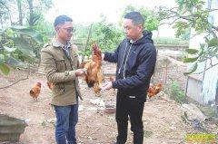 四川泸州赖林云林下养土鸡 引来顾客进村求购