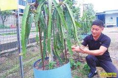 种植盆栽火龙果好赚钱 每盆售价高达1200元