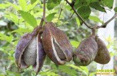四川泸州马林:种植八月瓜亩收入1万元
