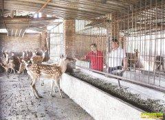 重庆市璧山夫妻创业养殖梅花鹿走上致富路
