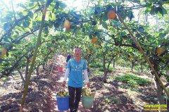 四川泸州王强返乡创业种植黄金梨结出致富果