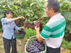 安徽省庐江钱志华种植生态葡萄好致富