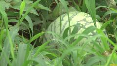 [致富经]河北保定赵峻青种植剥皮吃的西瓜好赚钱