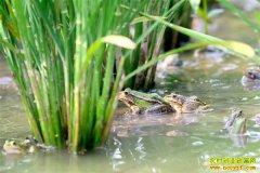 四川古蔺:稻田养蛙绘就绿色生态致富路