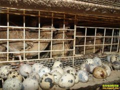 四川泸州曾玉能养鹌鹑不愁销 卖蛋卖粪都赚钱