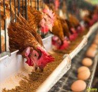 明日蛋价预测:9月18日鸡蛋价格早知道