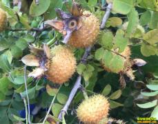你见过刺梨吗?刺梨种植前景如何?