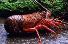澳洲龙虾好养吗,怎样养殖澳洲龙虾?