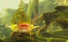 黄颡鱼与鳖混养效益高一亩纯赚一万元
