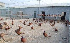 建一个小型七彩山鸡养殖场需要投资多少钱