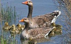 大雁养殖致富是真的还是假的?