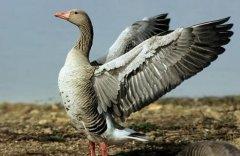 大雁养殖效益高 一只大雁羽毛的收入可达30元以上