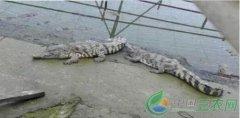 湖南常德姚稼养殖鳄鱼年收入50余万元