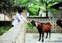 """广西博白残疾创业者刘入源养羊致富发""""羊财"""""""