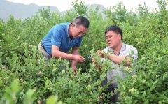 """吉林集安""""蓝莓村""""种植蓝莓成农民致富好项目"""