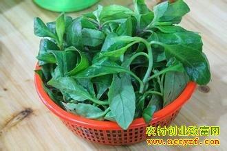 种野菜赚钱:山野菜种植要点和市场前景